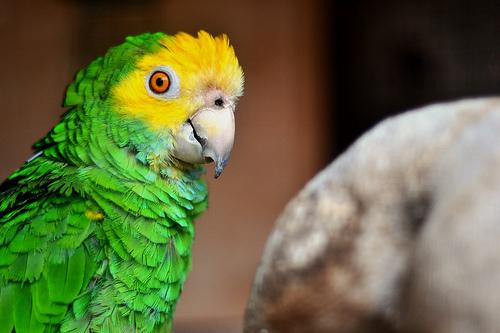 4 - papegaai