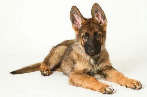wpid-herder-puppy-2.jpg