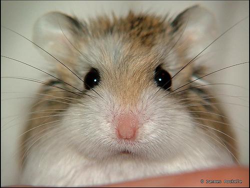 9 - hamster
